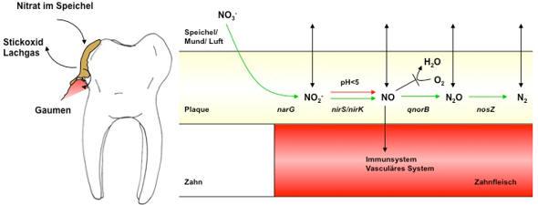 Lachgas Und Stickoxid Aus Dem Mund