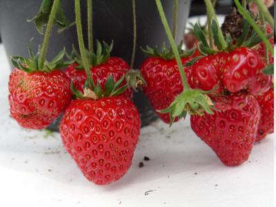 molekularbiologen der tum optimieren polyphenolgehalt von erdbeeren durch z chtung. Black Bedroom Furniture Sets. Home Design Ideas